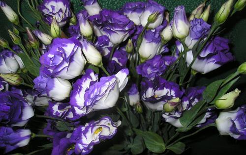 Комнатный цветок похожий на колокольчик: фото и названия 94