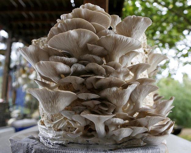 Как выращивают грибы вешенки в домашних условиях шампиньоны