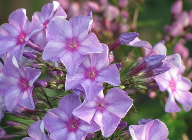 цветы садовые цветы картинки