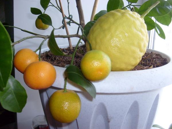 Как сделать прививки лимона фото 579
