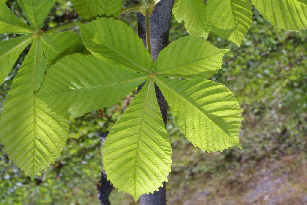 Растение листья как у каштана