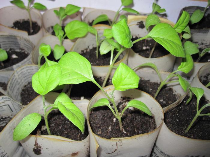 Рассада баклажана выращивание в домашних условиях