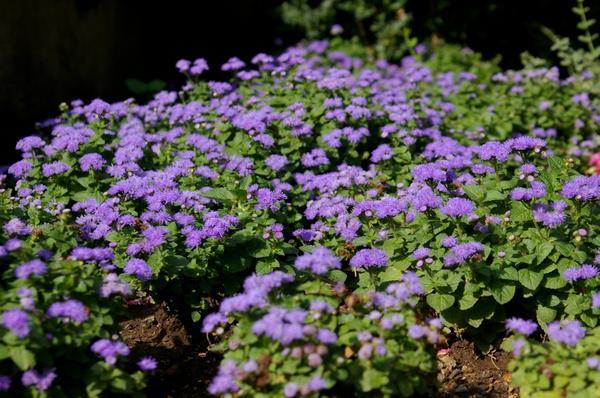 Цветы на балконе их сорта и названия как вырастить цветы