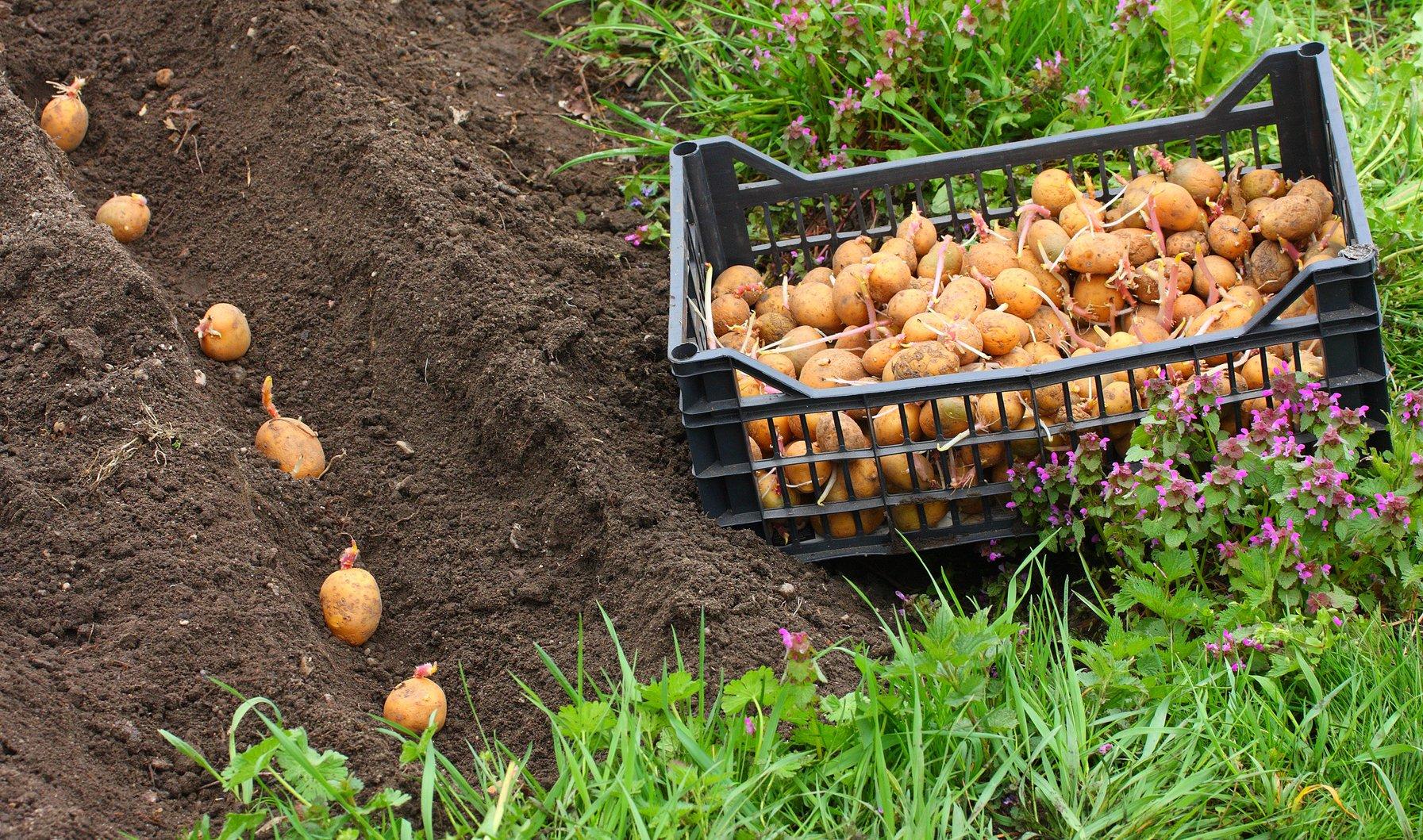 Огород когда сажать картофель 79