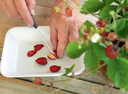 Когда и как сажать клубнику из семян в домашних условиях на рассаду
