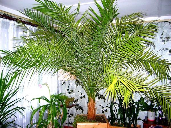 Финиковая пальма уход за ней в домашних условиях