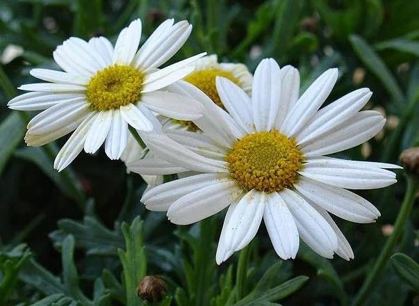 Уход за садовыми ромашками после цветения