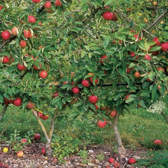 Выращивание низкорослых яблонь 45