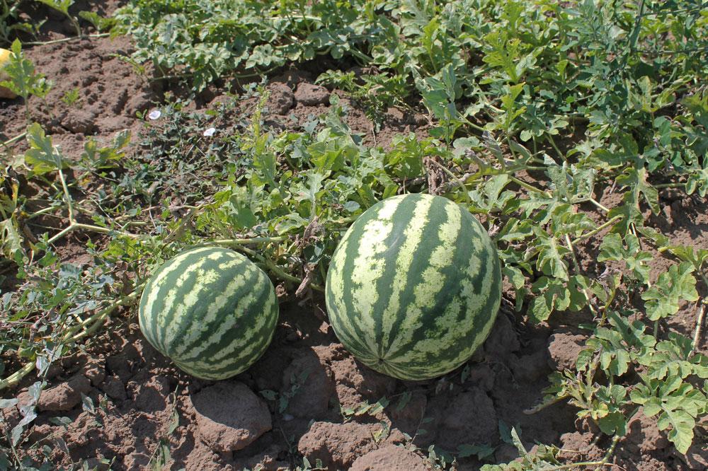 Выращивание арбузов в башкирии 94