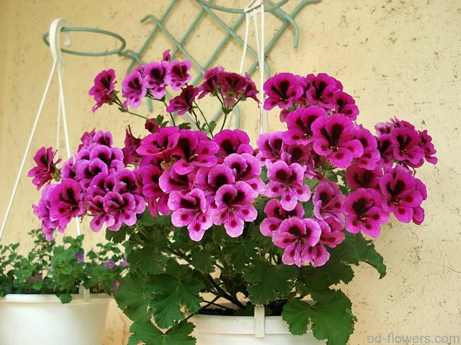 Уход за геранью (пеларгония)- Комнатные растения 44