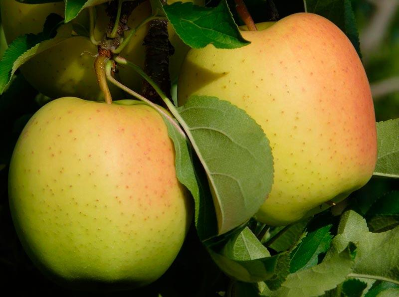Яблоки желтого цвета сорт