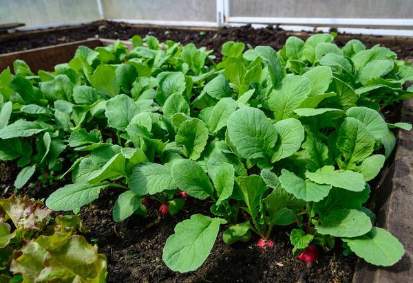 Редис агротехника выращивания в теплице 98
