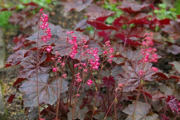 Садовые растения с красным стеблям