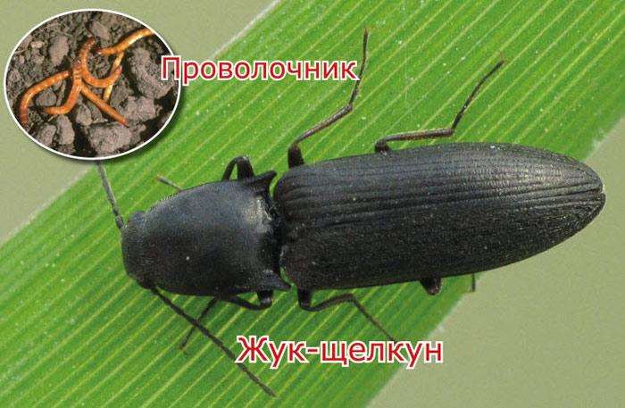 проволочник фото жук