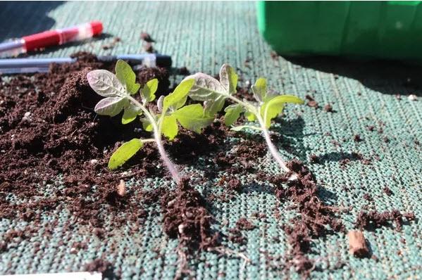 как сильно поливать землю для пикировки томатов