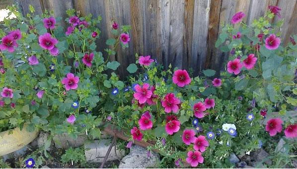 Цветы малопа выращивание 90