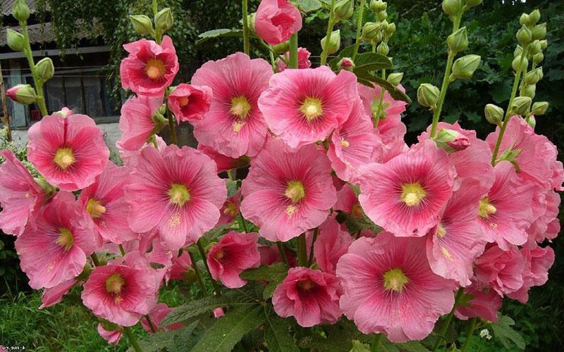 мальва цветок чай польза